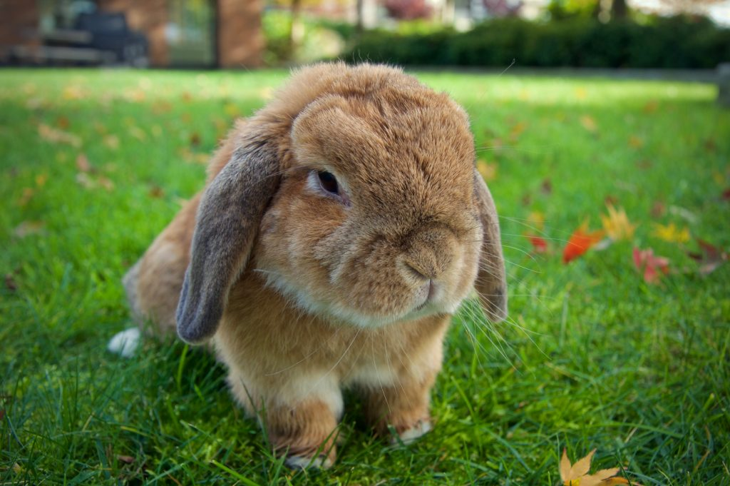 types of rabbits for pets