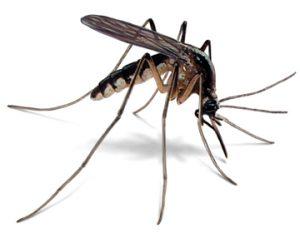 mosquito-illustration_360x286